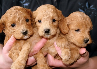 Three puppies to choose from