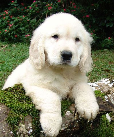 14 Retreiver Puppy